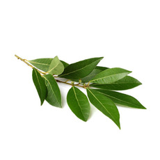 월계수 오일(Laurel Berry Oil)