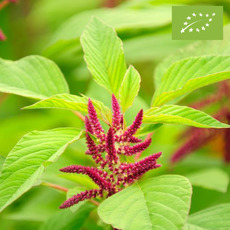 아마란스 CO2추출오일(AMARANTH SEED CO2 EXTRACT)
